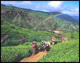 tea estate 5